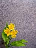 Giglio peruviano giallo su fondo grigio Immagini Stock Libere da Diritti