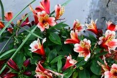 Giglio peruviano rosso nel giardino Immagini Stock