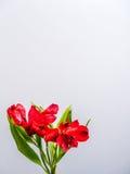 Giglio peruviano rosso su fondo bianco Fotografia Stock