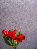 Giglio peruviano rosso su fondo concreto grigio Immagini Stock Libere da Diritti