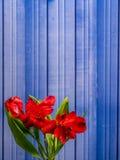 Giglio peruviano rosso sul fondo blu del metallo Immagini Stock Libere da Diritti