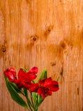 Giglio peruviano rosso sul fondo del compensato Fotografia Stock