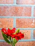 Giglio peruviano rosso sul fondo del mattone Immagine Stock