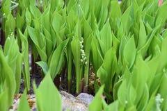 giglio Piccolo mughetto prima della fioritura nel giardino Fotografie Stock Libere da Diritti