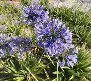 Giglio porpora blu o chiamato dell'Africa nel giardino di stagione estiva immagini stock