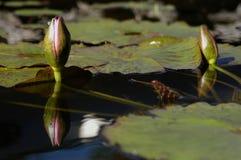 Giglio quasi di fioritura Fotografia Stock