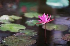 Giglio rosa Fotografie Stock Libere da Diritti