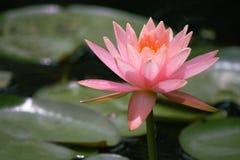 Giglio rosa fotografie stock