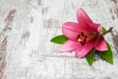 Giglio rosa Immagine Stock