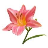 Giglio rosa-chiaro Fotografia Stock