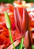 Giglio rosso Fotografie Stock