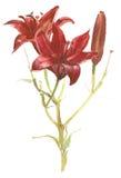 Giglio rosso Fotografia Stock