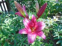 Giglio rosso che fiorisce nella pianta Immagine Stock Libera da Diritti