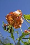 Giglio selvatico del Michigan (Lilium Michiganense) Fotografia Stock