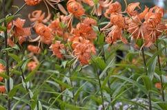 Giglio selvatico di fioritura (giglio Dauria) Immagine Stock