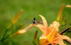 giglio verde dell'arancia degli ambiti di provenienza della libellula Fotografie Stock Libere da Diritti