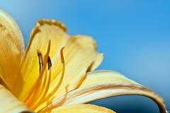 giglio vicino su colore giallo immagine stock