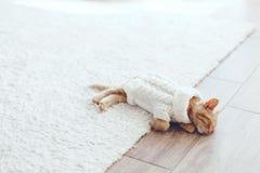 Gigner-Kätzchen Stockfotos