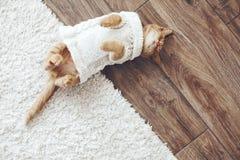 Gigner-Kätzchen Stockfotografie