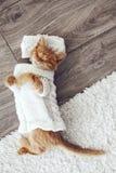 Gigner-Kätzchen Stockbilder
