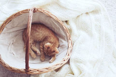 Gigner-Kätzchen Stockfoto