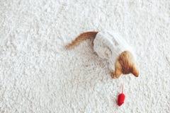 Gigner-Kätzchen Lizenzfreie Stockbilder
