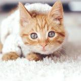 Gigner kattunge Royaltyfria Bilder
