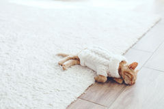 Gigner kattunge Arkivfoton