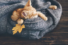 Gigner kitten sleeping Stock Photography