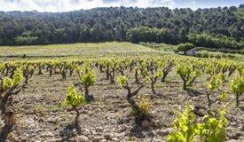 Gigondas vineyard at spring. In the south of France royalty free stock photo