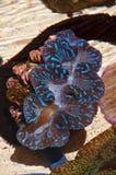 Giiant (Tridacna gigas), close up Royalty Free Stock Image