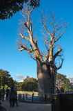 Gija Jumulu - o Boab gigante Fotos de Stock
