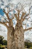 Gija Jumulu som det jätte- Boab trädet i konungar parkerar, Perth, WA, Australien royaltyfri fotografi
