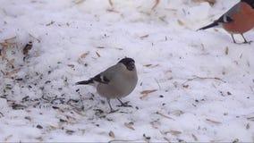 Gil, pospolity gil lub eurazjaty gil Pyrrhula pyrrhula męskiego łasowania słonecznikowi ziarna na śniegu w wczesnej wiośnie, zdjęcie wideo