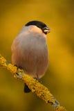 Gil, Pyrrhula pyrrhula, siedzi na żółtej liszaj gałąź, popielatym ptaku śpiewającym z zielenią i kolorze żółtym, Sumava, republik fotografia stock