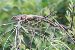 Gila, der auf dem Baum klettert Stockfotografie
