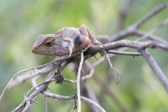 Gila, der auf dem Baum klettert Lizenzfreies Stockfoto
