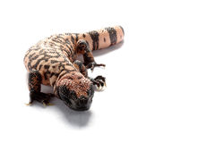 Gila-Monster stockfoto