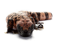 Gila monster Royalty Free Stock Image