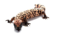 gila monster Arkivfoto