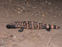 Gila Monster lizenzfreies stockfoto