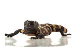 gila monster Arkivbild