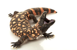 Gila Monster stock image