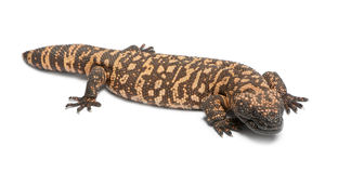 Gila monster - Heloderma suspectum Stock Image