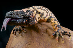 Gila Monster / Heloderma suspectum. The Gila Monster is the most venomous lizard species of the world Stock Images