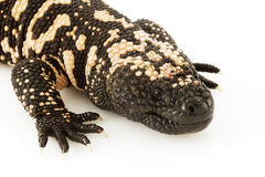 Gila Monster (Heloderma suspectum) Royalty Free Stock Photo
