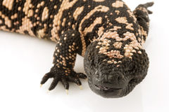 Gila Monster (Heloderma suspectum) Stock Image