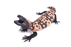 Gila monster, Heloderma suspectum cinctum Royalty Free Stock Photos