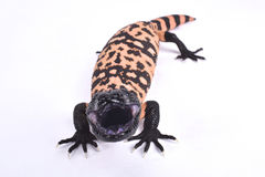 Gila monster, Heloderma suspectum cinctum. The Banded gila monster, Heloderma suspectum cinctum, is a large, slow moving lizard species and highly venomous Stock Photography