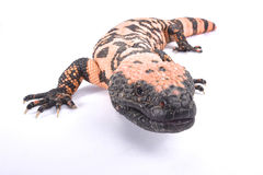 Gila monster, Heloderma suspectum cinctum. The Banded gila monster, Heloderma suspectum cinctum, is a large, slow moving lizard species and highly venomous Stock Photo